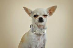 Chihuahua Winking Stock Photo
