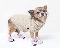 Chihuahua with winter clothes Stock Photography