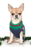 Chihuahua in winter clothes Royalty Free Stock Photo