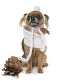 Chihuahua in winter Stock Photos