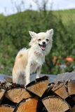 Chihuahua on wood in forest Stock Image