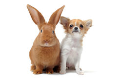 Chihuahua y conejito del perrito fotografía de archivo
