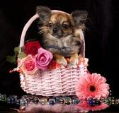 Chihuahua y flores Fotos de archivo libres de regalías