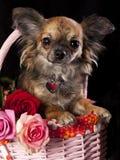 Chihuahua y flores Imagenes de archivo