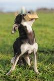 Chihuahua y palillo del perrito Foto de archivo