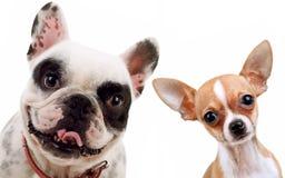 Chihuahua y perro francés del toro imagenes de archivo