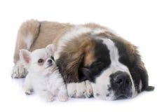 Chihuahua y St Bernard de los perritos Fotografía de archivo