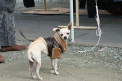Chihuahua y su ropa fotografía de archivo libre de regalías