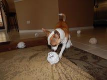 Chihuahua y sus nuevos juguetes Fotos de archivo libres de regalías