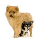 Chihuahua y un perro de Pomerania Fotografía de archivo libre de regalías