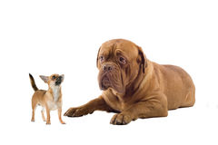 Chihuahua y un perro francés del mastín Foto de archivo
