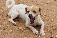 Chihuahua dog yawning Stock Image