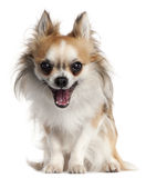 Chihuahua, yawning in front of Stock Image