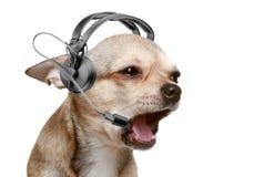 chihuahua życzliwy operatora szczeniaka telefon Obrazy Stock