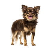 Chihuahua (1 year old) Stock Photo