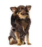 Chihuahua (1 year old) wearing a coat Stock Images