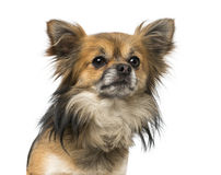 Chihuahua (2 years old) Stock Images