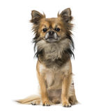 Chihuahua (2 years old) Royalty Free Stock Photos