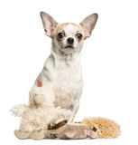 Chihuahua (2 years old) sitting behind stuffed toys Stock Photos