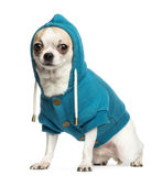 Chihuahua (2 years old) sitting and wearing a blue hoodie Stock Image