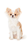 Chihuahua, 3 years old, on the white background Royalty Free Stock Photo