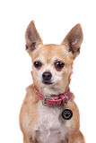 Chihuahua, 9 years old, on the white background Royalty Free Stock Photo