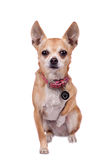 Chihuahua, 9 years old, on the white background Stock Photography