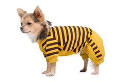 Chihuahua with yellow and black costume Stock Photography