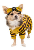 Chihuahua in yellow-black suit Royalty Free Stock Photo