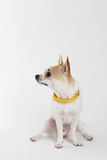 Chihuahua Yellow Collar. Looking something Royalty Free Stock Photography
