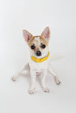 Chihuahua Yellow Collar. Looking your eyes Royalty Free Stock Images