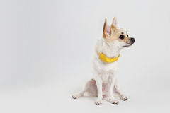 Chihuahua Yellow Collar. Not interest who Stock Photo