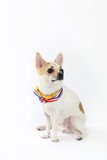 Chihuahua Yellow Collar thailand. Looking something Stock Photo