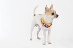 Chihuahua Yellow Collar thailand. Looking something Stock Photos