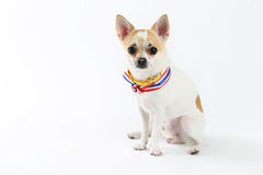 Chihuahua Yellow Collar thailand. Looking your eyes Royalty Free Stock Image