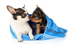 Chihuahua and Yorkshire Terrier Royalty Free Stock Photos