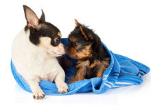 Chihuahua and Yorkshire Terrier Royalty Free Stock Images