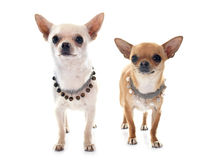 Chihuahua Royalty Free Stock Images