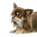 chihuahua złotowłosy długi Obrazy Stock