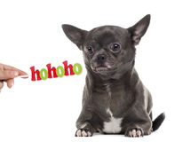 Chihuahua z Bożenarodzeniowym messag odizolowywającym na bielu Fotografia Royalty Free