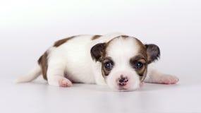 chihuahua zamknięty nowonarodzony szczeniaka cukierki nowonarodzony fotografia stock