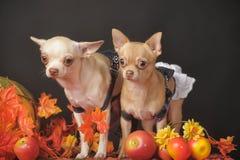 Chihuahua zwei stockbilder