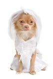 Chihuahuabraut stockbild