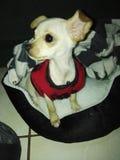 Chihuahuaen behandla som ett barn Fotografering för Bildbyråer