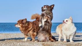 Chihuahuaen dansar framme av två av hans kompisar Arkivfoton