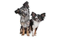 chihuahuaen dogs två arkivfoton
