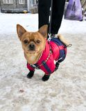 Chihuahuaen i vinterkugghjul, tafsar på vinterkängor royaltyfria bilder