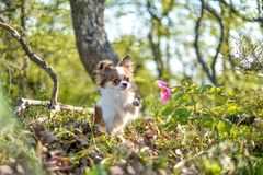Chihuahuaen luktar en blomma royaltyfri fotografi