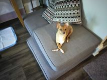 Chihuahuaen med hennes ben korsade arkivfoto