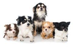 Chihuahuafamilie op witte achtergrond royalty-vrije stock afbeeldingen